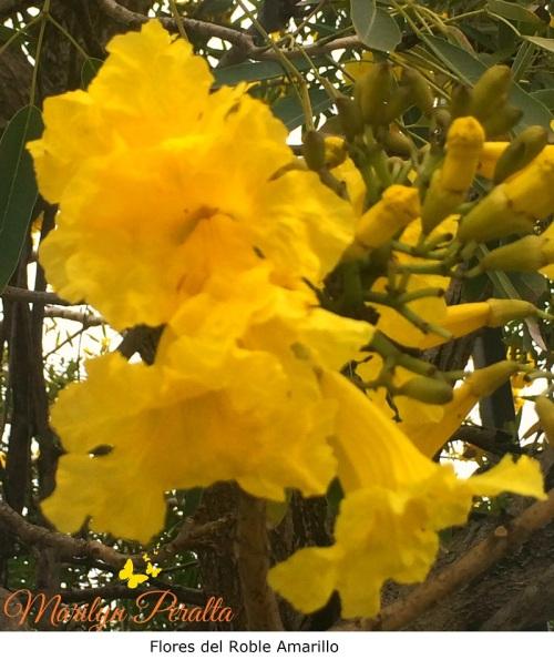 Flores del Roble Amarillo