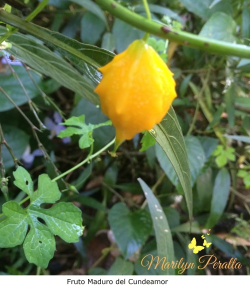 Fruto madura del Cundeamor