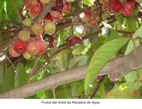 Frutos del Árbol de Manzana de agua