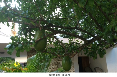 Frutos del Higuero