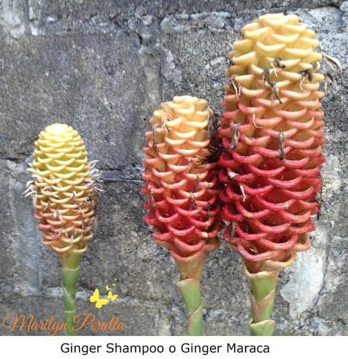 Ginger Shampoo o Ginger Maraca 1