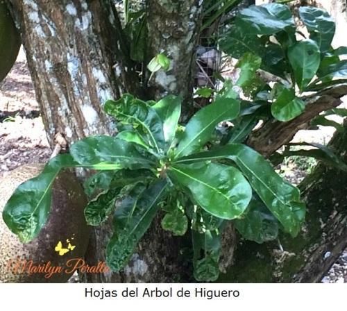 hojas-del-arbol-de-higuero