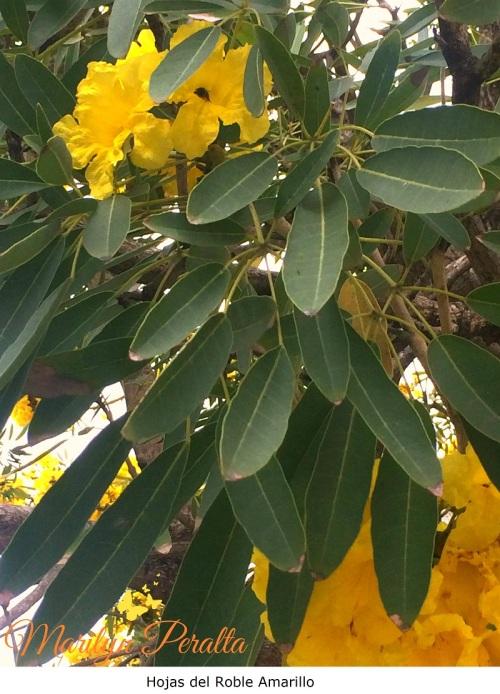 Hojas del Roble Amarillo