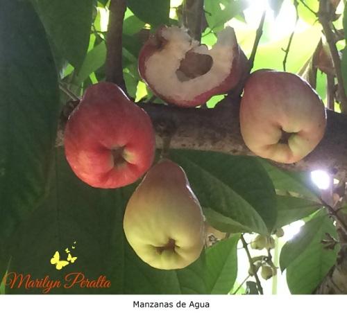 Manzanas de Agua