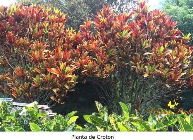 Planta de Croto