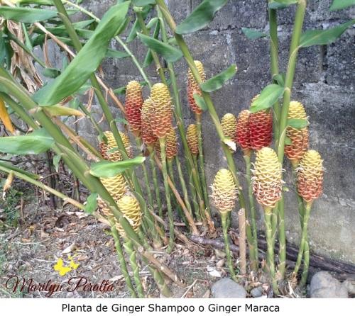 Planta de Ginger Shampo o Ginger Maraca