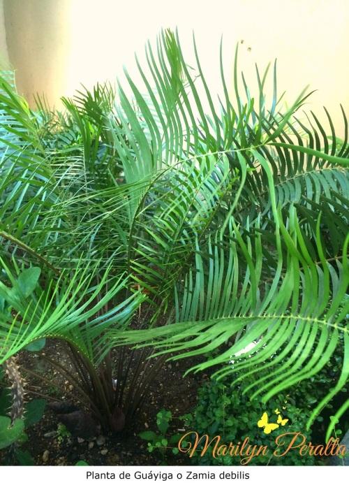 Planta de Guáyiga o Zamia debilis