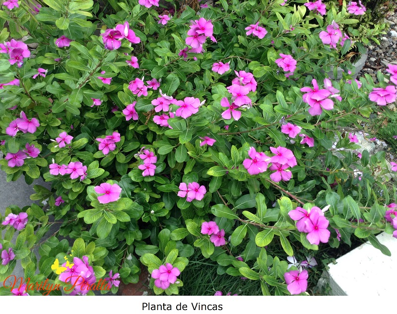 Flores vincas o todo el a o rboles y flores en - Plantas exteriores todo el ano ...