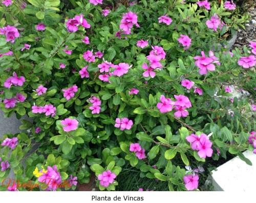 Planta de Vincas