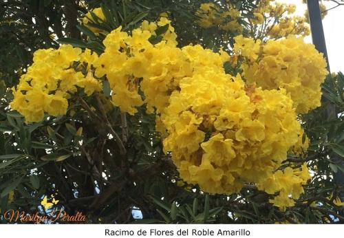 Racimo de Flores del Roble Amarillo