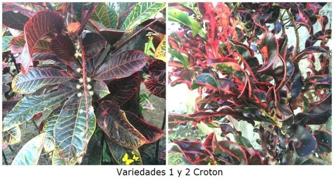 Variedades 1 y 2 Croton