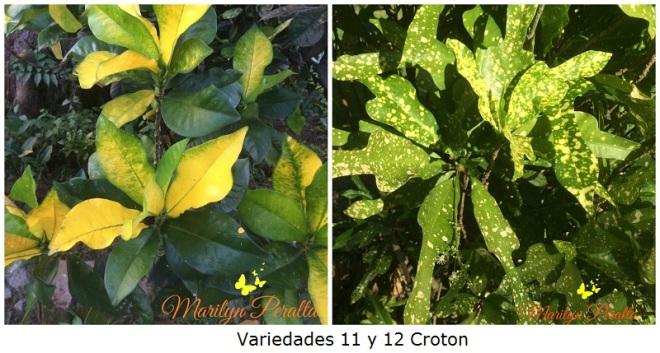Variedades 11 y 12 Croton