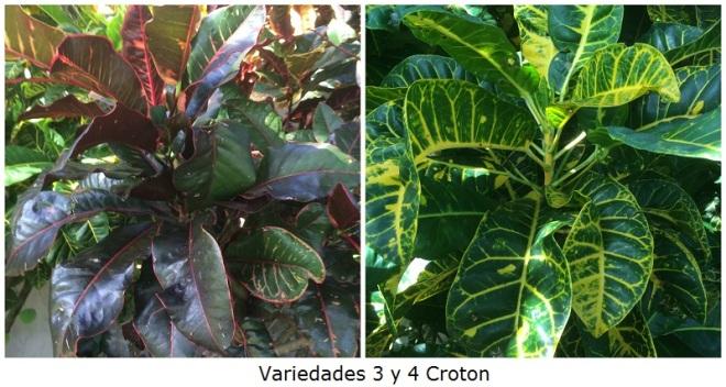 Variedades 3 y 4 Croton
