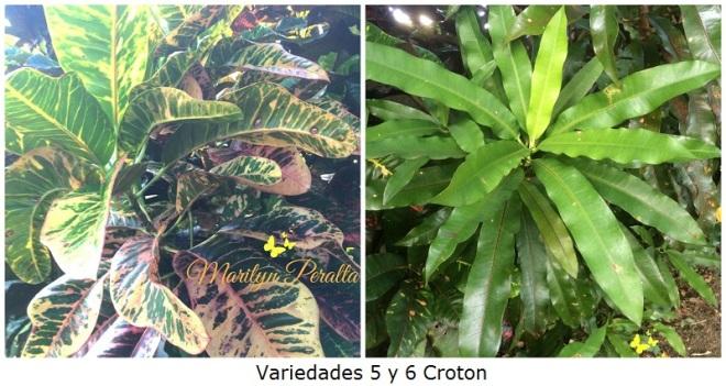Variedades 5 y 6 Croton