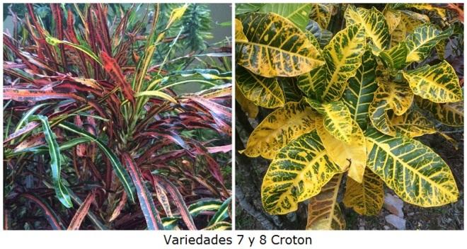 Variedades 7 y 8 Croton