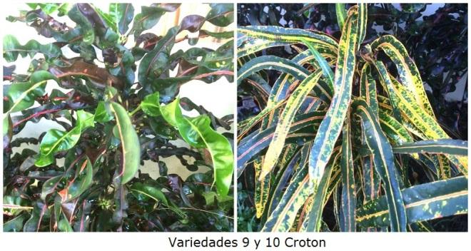 Variedades 9 y 10 Croton