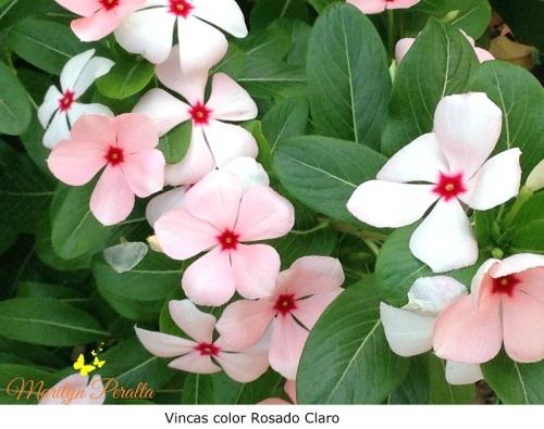 Vincas color Rosa claro