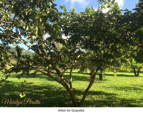Arbol de Guayaba