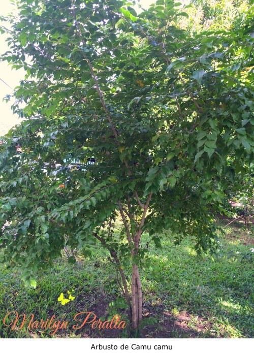 Arbusto de Camu camu