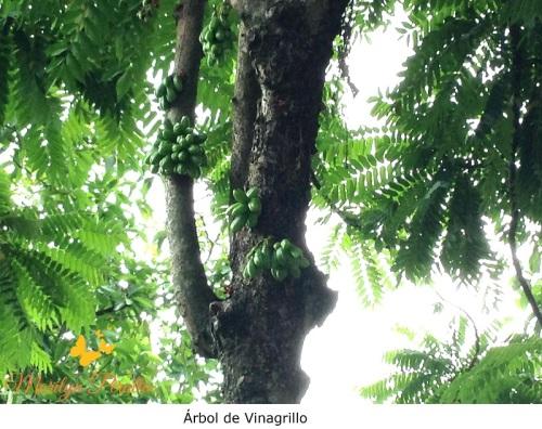 Árbol de Vinagrillo