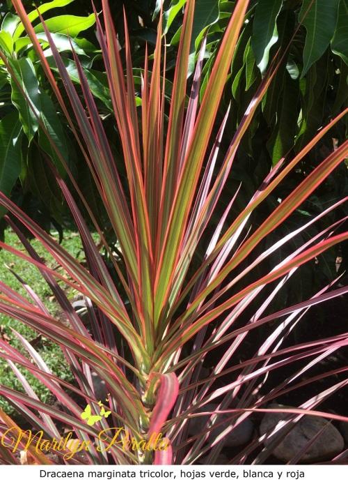 Dracaena marginata tricolor, hojas verde, blanca y roja