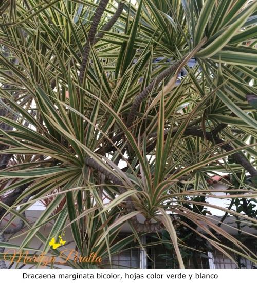 Dracaena marginata verde y blanca