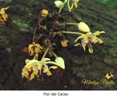 Flor del Cacao