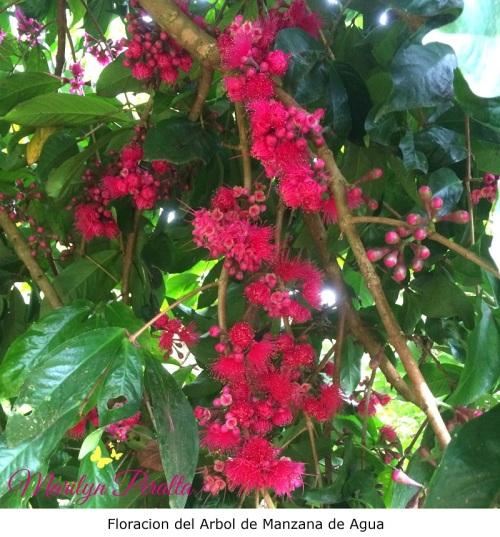 Floración del Arbol de Manzana de Agua