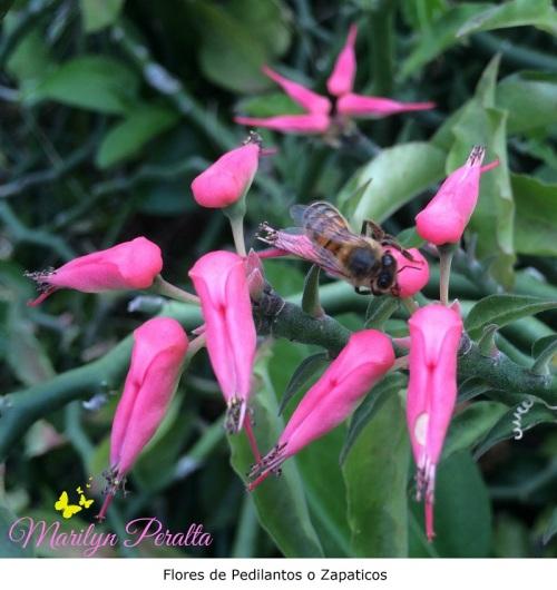 Flores de pedilantos