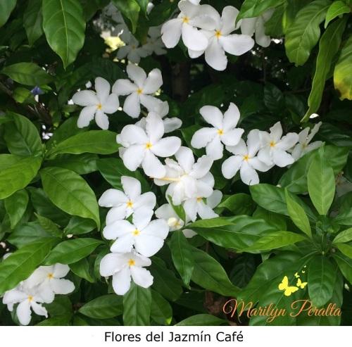 Flores del Jazmín Café
