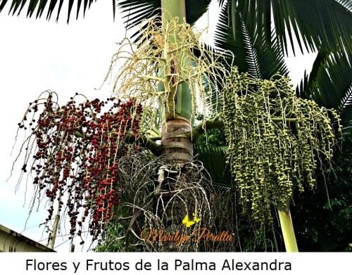 Flores y Frutos de la Palma Alexandra