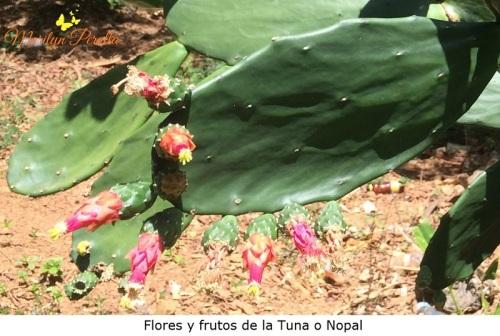 Flores y frutos de Tuna o Nopal