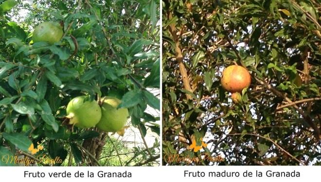 Fruto verde y maduro de la Granada