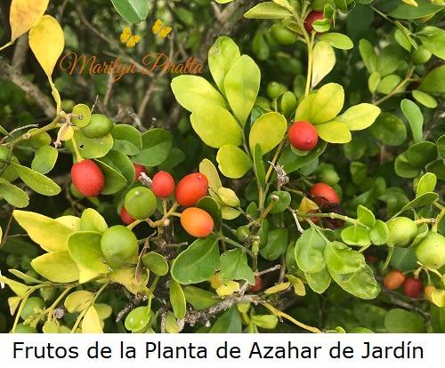 Frutos de la Planta de Azahar de Jardin