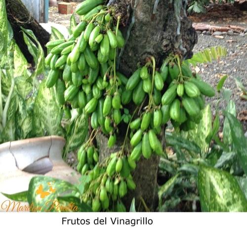Frutos del Vinagrillo