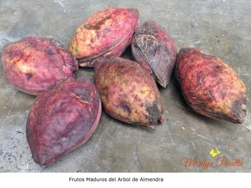 Frutos maduros del Arbol de Almendra
