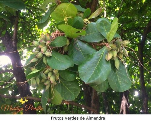Frutos Verdes de Almendra