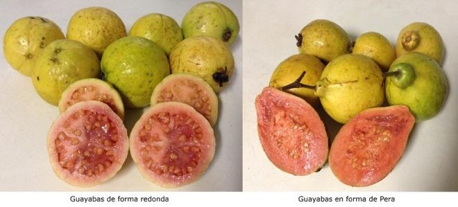 Guayabas Maduras