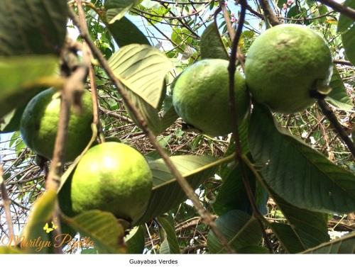 Guayabas Verdes