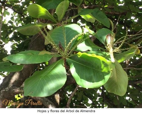 Hojas y flores del Arbol de Almendra
