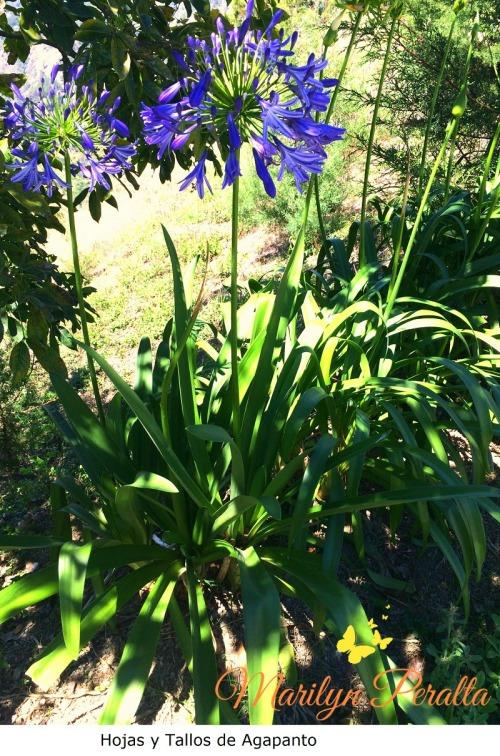 Hojas y tallos florales del Agapanto