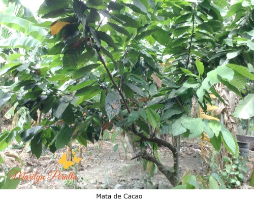Mata de Cacao 2