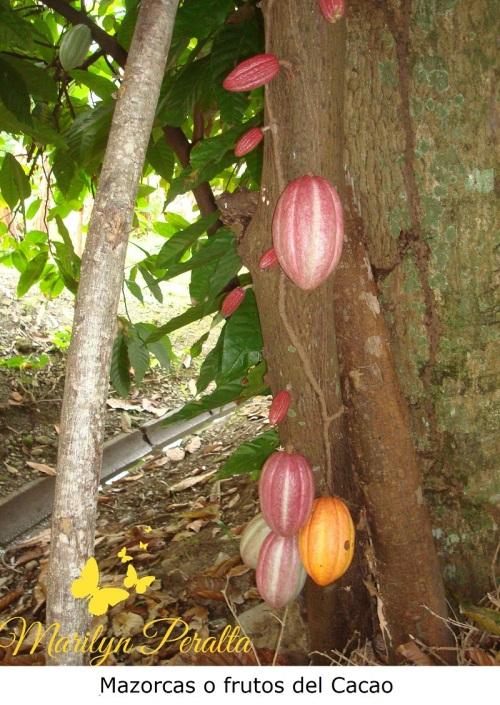 Mazorca de Cacao 2