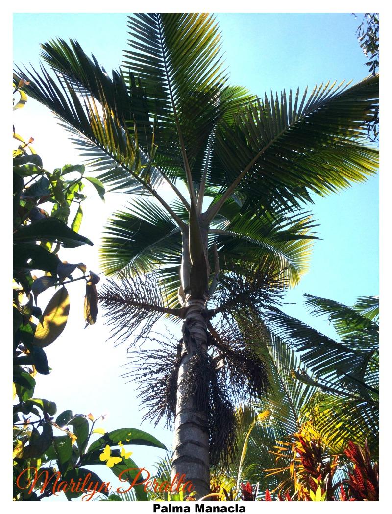 Palma Manacla
