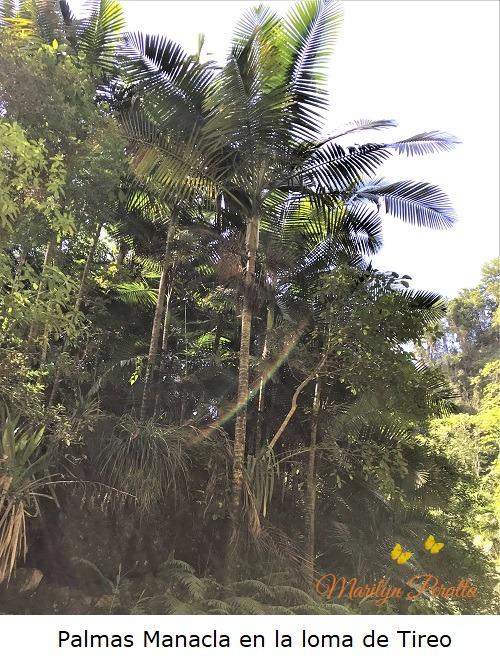 Palmas Manacla en la loma de Tireo