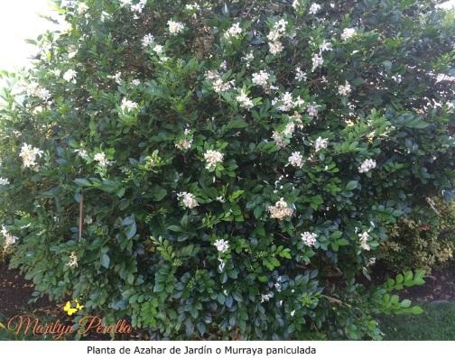 Planta de Azahar de Jardín o Murraya paniculada