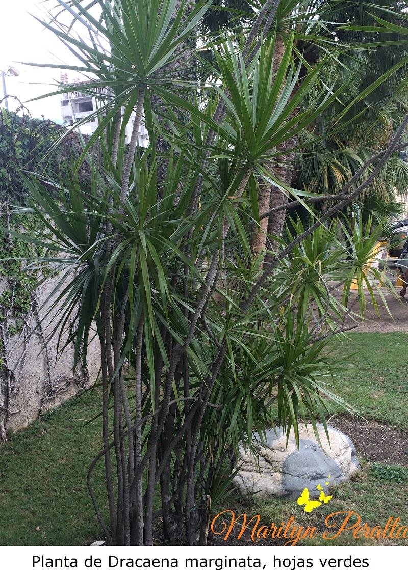 Planta de Dracaena marginata, hojas verdes