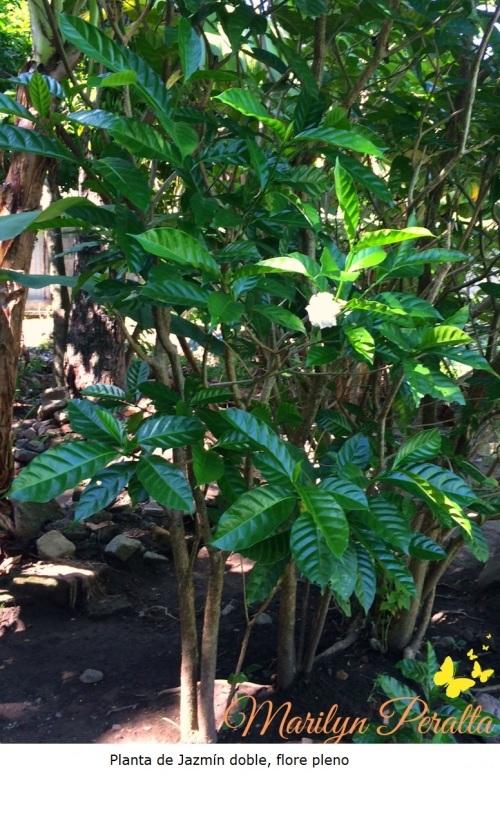 Planta de Jazmín café doble