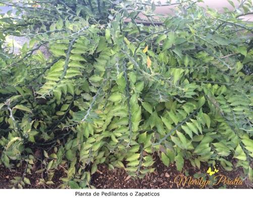Planta de Pedilanto o Zapatico