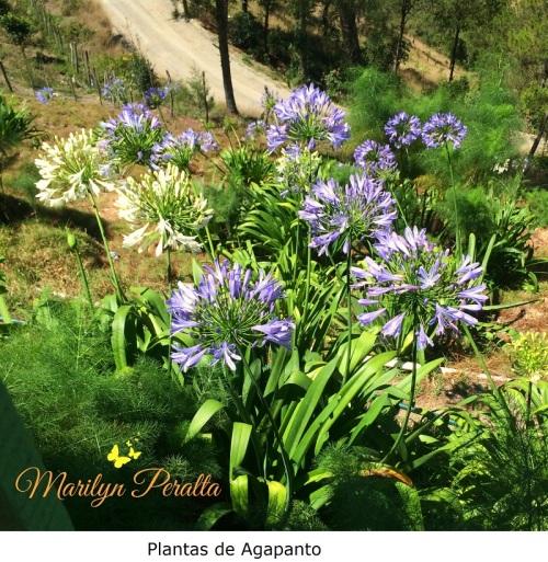 Plantas de Agapanto